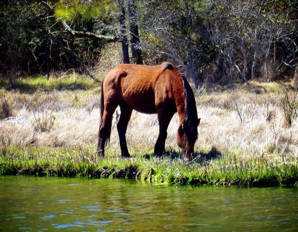 bay-pony-close-up