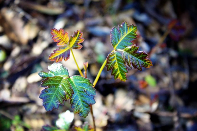 Poison-Oak
