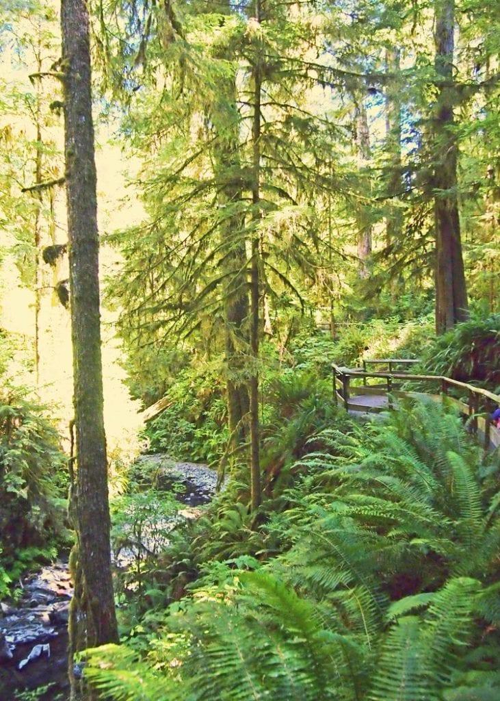 Quinault Rainforest Nature Trail Hike River Walk
