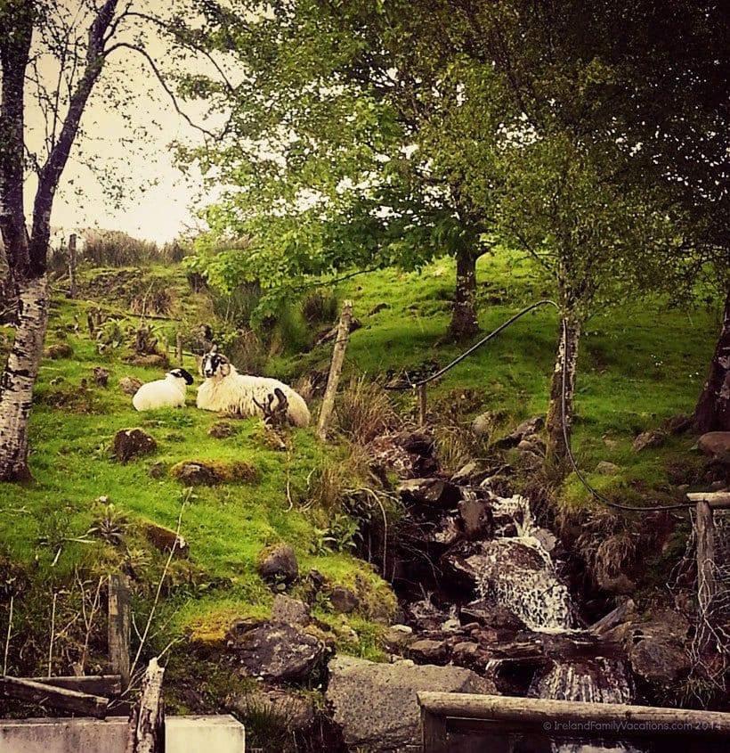 Inishowen-Sheep