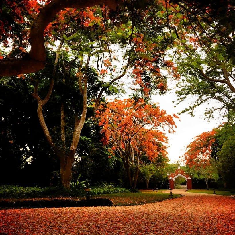 flamboyan trees at Hacienda Petac Merida Mexico