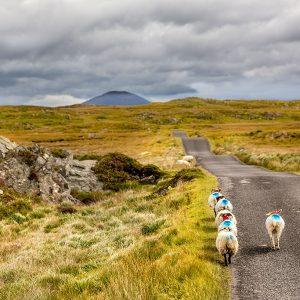 Connemara Ireland - Sheep Crossing the Road - Driving in Ireland