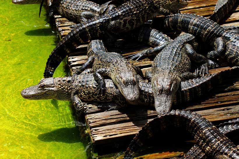 Gatorland Kissimmee Florida