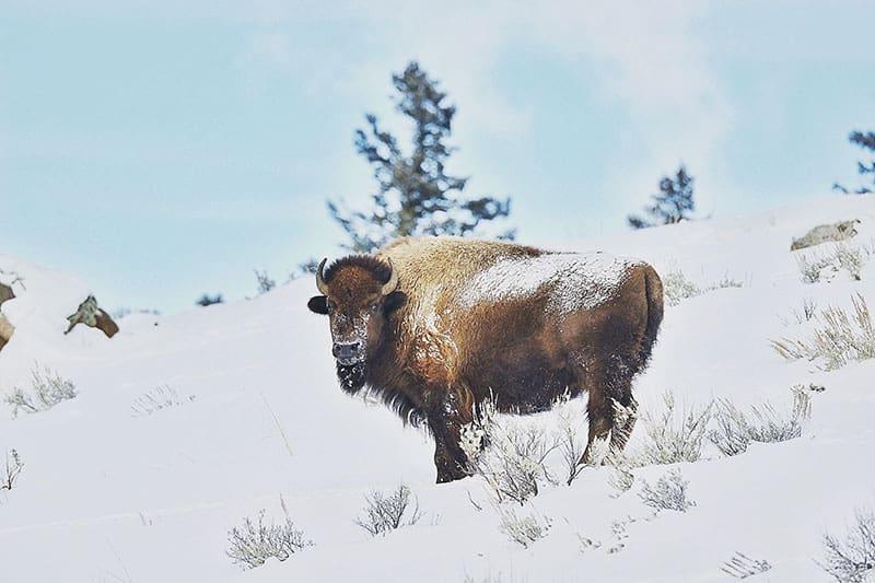 Yellowstone National Park Winter
